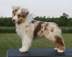 Absoloot Australian Shepherds || Looks like my baby girl sapphire!!!!!! I love her
