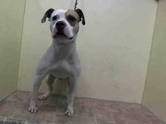 TO BE DESTROYED - THURSDAY - 10/02/14 Manhattan Center  MIDAS - A1014356  *** DOH HOLD 9/17/14 ***  MALE, WHITE / BROWN, PIT BULL MIX, 2 yrs, 7 mos OWNER SUR - ONHOLDHERE, HOLD FOR DOH-HB Reason BITEPEOPLE  Intake condition UNSPECIFIE Intake Date 09/17/2014, From NY 10460, DueOut Date ,