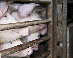 Image: 'One Sows son is another man's breakfast', found on flickrcc.net Factory Farming, Pig Farming, Animal Welfare, Livestock, Drugs, Animals, Legal System, Science News, Russia
