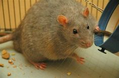 Junk Food Rats Ditch Balanced Diet To Eat Just Like Obese People