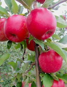SnapDragon apples - a new apple variety from New York