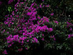 Die Bougainvillea ist eine der beliebtesten Pflanzen für den Wintergarten.