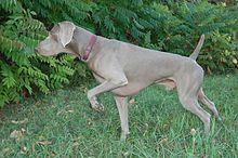 Perro de caza. Braco de Weimar. #Caza
