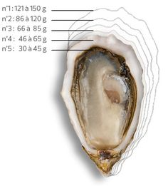 Les calibres - Huitres Charente-Maritime | Charente-Maritime Tourisme #charentemaritime | #oyster | #huître Best Oysters, Oyster Bar, Molecular Gastronomy, Fish And Seafood, Snacks, Food For Thought, Finger Foods, Cabbage, Food Photography