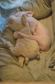 Pig cuddling pig
