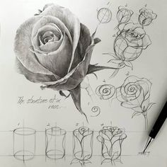 A rosebud and hints of sketches of rose on how to draw it. 1 rose in many different ways.