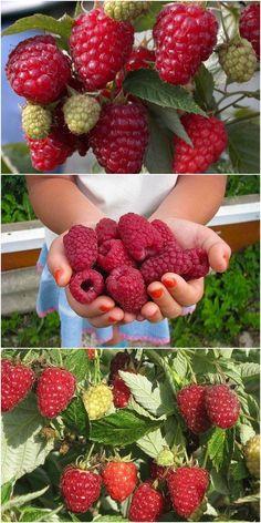 ✔ 65 best diy fairy garden ideas 1 in 2020 Strawberry Garden, Fruit Garden, Edible Garden, Fruit Plants, Fruit Trees, Beautiful Fruits, Vegetable Garden Design, Exotic Fruit, Lawn And Garden