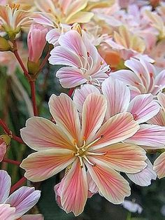 ~~Cliff Maids, (Lewisia Colyledon), Kew Gardens, London by BEARTOMCAT (Bear)~~