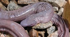 Strange Animals You Didn't Know Exist Penis Snake This, uhm… peculiar eyeless animal is actually called Atretochoana eiselti. It is a large, presumably aquatic, caecilian amphibian with a broad, flat head and a fleshy dorsal fin on the body Bizarre Animals, Unusual Animals, Rare Animals, Interesting Animals, Wild Animals, Les Reptiles, Reptiles And Amphibians, Glaucus Atlanticus, Okapi