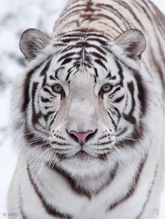 ~~Look at my eyes ~ white tiger by Olga Gladysheva~~
