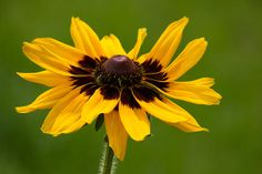 """""""Denver Daisy"""" photo by Penny Meyers.  Fine art prints and greeting cards from Fine Art America."""
