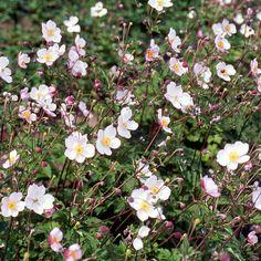 ANEMONE tomentosa 'Robustissima' (Anémone du Japon) : Ce genre important comprend un grand nombre d'espèces à floraison printanière, il est connu aussi par la magnifique floraison des espèces dites Anémones du Japon, irremplaçables dans les scènes de fin d'été et d'automne Fleurs rose pâle. Feuilles palmées. Très robuste, vigoureuse et florifère.