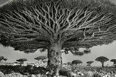 De oudste bomen op aarde vereeuwigd in surrealistische zwart-wit foto's