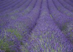 Kent lavender.