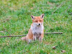 Pretty fox sitting in the grass