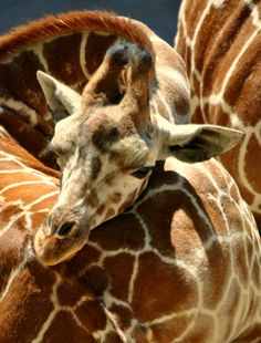 """500px / Photo """"Baby Giraffe (Giraffa camelopardalis) """" by Nate A 