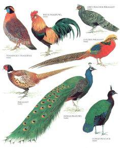 Temminck's Tragopan, Red Junglefowl, Grey Peacock Pheasant, Golden Pheasant, Congo Peacock, Indian Peafowl, Pheasant.....clockwise from upper left corner....Encyclopedia of World Birds....via My Sunshine Vintage on ETSY