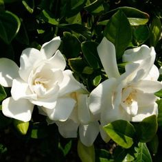 Jubilation™ Gardenia