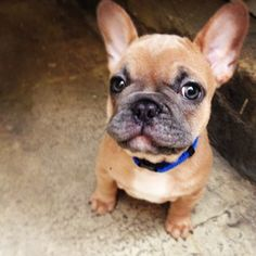 i'm in love. #monsieur_wilbur_the_frenchie