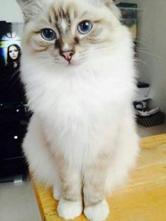Chocolate Lynx Mitted with a double diamond blaze