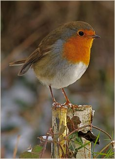 Robin posing | Christmas card photo of a Robin on a Post. I … | Flickr