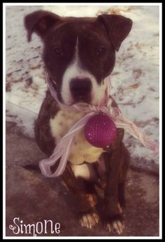 URGENT!!!! PLEASE RESCUE SIMONE!!!! (very lovable girl) SEE VIDEO!!!! FOUND IN Youngstown, OHIO...Now needs new home...MAHONING DOG KENNEL...CONTACT: fofmcdp@gmail.comAvailable:10/12Simone (ID #923) is a young female pit mix who is extremely underweight. (She weighs about 35-40 pounds now) She was found by one of the volunteers running in the road this morning. She is a gentle and sweet...