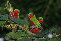 Kuhl's lorikeet (Vini kuhlii) Exotic Birds, Colorful Birds, Budgies, Parrots, Parrot Pet, In Natura, Conure, Cockatoo, Bird Feathers