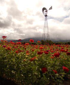 Zinnias in Napa Valley, CA
