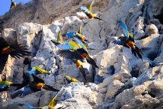La colonia de Loros Barranqueros mas grande del Mundo . The largest colony of Burrowing Parrots of the Word .El Cóndor, en la provincia de Río Negro, Patagonia Argentina
