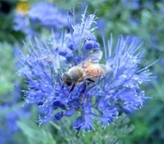 Image of honey bee collecting pollen
