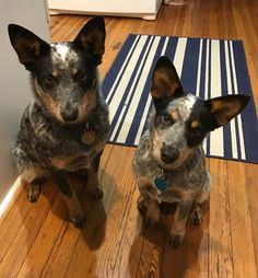 Gidget and Bingo. 8 months and 4 months old ACDs.