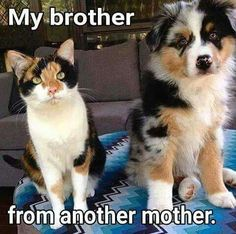 Calico cat and Australian Shepherd pup