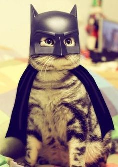 Funny Pictures - Batcat