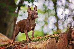 Pina Colada vom Osterfeld – Chihuahua – Hundefotografie Ingolstadt