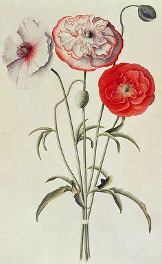 poppies, botanical art by Georg Dionysius Ehret