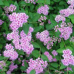 KEIJUANGERVO - Spiraea japonica Little Princess