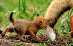baby fox with a mouthful of mama's tail #Cute