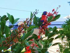 Rainbow lorikeet in our garden