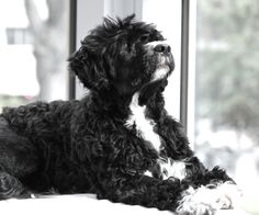 my beautiful Portuguese Water Dog from the kennel Aquamarine Portuguese Kennels. My breeder's name is Barbara Lachney. Just love him!!!!!!