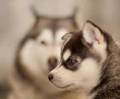Huskey puppy...adorable