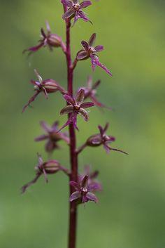 småtveblad Dandelion, Flowers, Plants, Dandelions, Florals, Plant, Flower, Bloemen, Planting