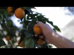 Taste Tour: Ojai Pixie Tangerines - YouTube