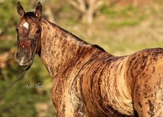 Meet Tigresa Dash – The Unique Horse With A Rare Coat Color – Horse Spirit Rare Horses, Horses And Dogs, Wild Horses, Beautiful Horse Pictures, Beautiful Horses, Animals Beautiful, Brindle Horse, Horse Markings, Majestic Horse