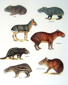 Exotic Rodents - Cavy, Mara, Capybara, Pacarana - Vintage 1980s Animal Book Plate Page