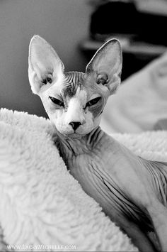 So cool, love the ears and slanted eyes... if I was to have another cat my first choice.