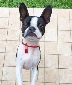 Hello Friday #bostonterrier #ibostonterrier #bostonterrierlove #bostonterrier_feature #bostonterriersofinstagram #bostonterriercult #bostonterriersforever #bostonterrieroverload #bostonterrierfamily #dog_features #doglife #flatnosedogsociety #btcult#hankandhound#barkzweekly by macbostonterrier