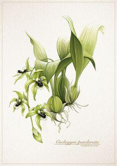 pandurata, old drawing from Biology Art, White Orchids, Ikebana, Botanical Art, Deviantart, Beautiful Flowers, Plant Leaves, Artsy, Tropical