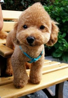 20 Best Toy Poodle Haircuts Images Poodle Haircut
