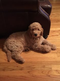 Sully the Golden Doodle