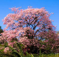 Roble Sabana en flor, uno de los más hermosos espectáculos que nos brinda la naturaleza en verano aquí en Costa Rica